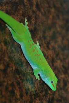 Free Gecko Royalty Free Stock Image - 2853326