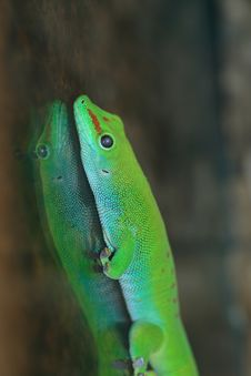 Free Gecko Royalty Free Stock Photography - 2853327