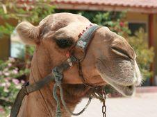 Free Turkish Camel In Team Royalty Free Stock Photo - 2854625