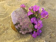 Free Pink On Sand Near The Stone Stock Images - 2855144