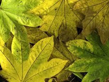 Colored Leaves Royalty Free Stock Photo
