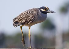 Free Yellow-crowned Night Heron II Stock Image - 2855681