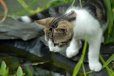Free Cat And Pond Royalty Free Stock Image - 2856196