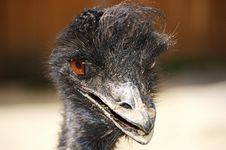 Emu Royalty Free Stock Photos