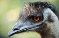 Free Ostriches Stock Image - 28503391
