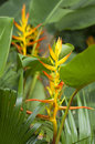 Free Heliconia Flowers Stock Image - 28505251