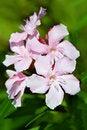 Free Nerium Oleander Flowers Stock Image - 28505541