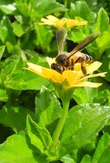 Loving Nectar Royalty Free Stock Image
