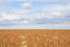 Free Field Of Ripe Wheat. Royalty Free Stock Photo - 28507195