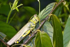Free Grasshopper Royalty Free Stock Photo - 28509705