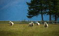Free Sheep In New Zealand. Stock Images - 28515574