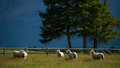 Free Sheep In New Zealand. Stock Images - 28515624