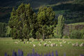 Free Sheep In New Zealand. Stock Photos - 28515713