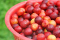Free Little Red Plums Stock Photos - 28519673