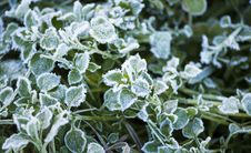 Free Frosty Leaves Stock Images - 28511664