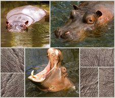 Free Images Collection Of Hippopotamus And Their Skin Stock Photos - 28512423