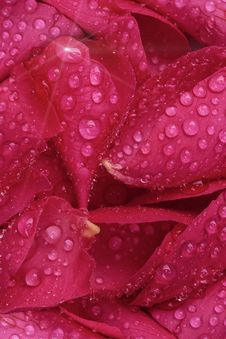 Free Red Rose Petals With Water Drops Stock Photos - 28512663