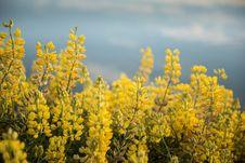 Yellow Flowers At Waikawa Habour. Sea In Southern Coast South Island Newzealnd
