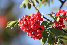 Free Red Berries And Green Leaves Royalty Free Stock Photo - 28514805