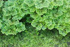 Free Selaginella Apoda Stock Images - 28517074