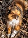 Free Shetlanddog Stock Images - 28520914