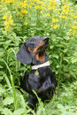 Free Dachshund  Against  Yellow Flowers Point Loosestrife Stock Image - 28521401