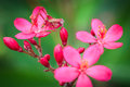 Free Pink Grasshopper Royalty Free Stock Photography - 28523427
