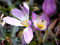 Free Crocuses After Rain Royalty Free Stock Images - 28525429