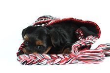 Free Yorkshire Terrier Puppy Inside A Cap Stock Photo - 28521050