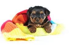 Free Cute Little Yorkshire Terrier Inside Scarf Stock Photos - 28521083