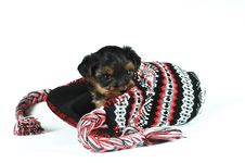 Free Cute Little Puppy On A Cap  On White Stock Images - 28521104