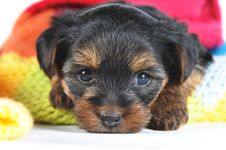 Free Cute Little Yorkshire Terrier Inside Scarf Closeup Stock Photos - 28521173