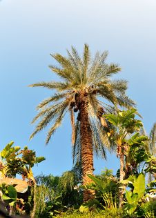 Free Date Palm Royalty Free Stock Image - 28521256