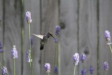 Free Hummingbird Feeding On Lavender Stock Image - 28521591