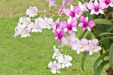 Free Orchid Stock Image - 28522941