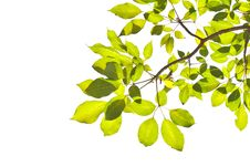 Free Green Leaf Royalty Free Stock Image - 28522956