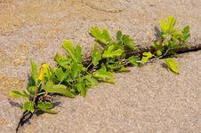 Free Wild Figs In The Rocks On The Peninsula Maslen Nos, Primorsko, Bulgaria Stock Photography - 28527332