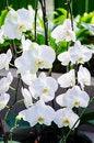 Free White Phalaenopsis Royalty Free Stock Photos - 28532978