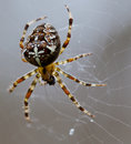 Free Spider. Royalty Free Stock Photo - 28537665
