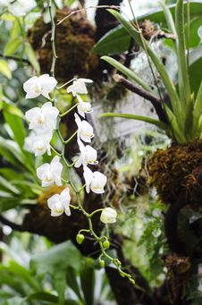Free White Orchid Stock Photo - 28532980