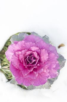 Free Decorative Purple Cabbage Royalty Free Stock Image - 28533016