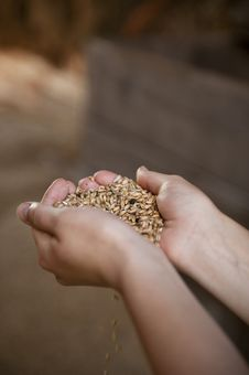 Free Grain In The Hands Stock Photography - 28533072