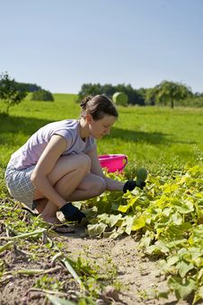Free Woman Picking Cucumbers Royalty Free Stock Photos - 28535918
