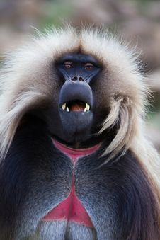 Free Monkey - Theropithecus Stock Images - 28537484