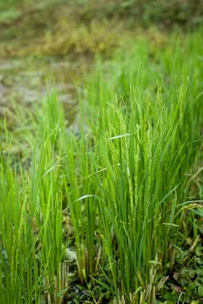 Free Fresh Green Rice Growing Stock Image - 28537591