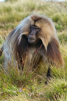 Free Monkey - Theropithecus Royalty Free Stock Image - 28537676