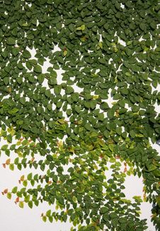 Free Leaves On The Wall Royalty Free Stock Images - 28537789
