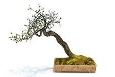 Free Bonsai Tree Stock Photos - 28538983