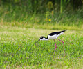 Free Black-necked Stilt Royalty Free Stock Photography - 28540907