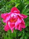 Free The Pink Flower Of Peony Royalty Free Stock Photography - 28541597